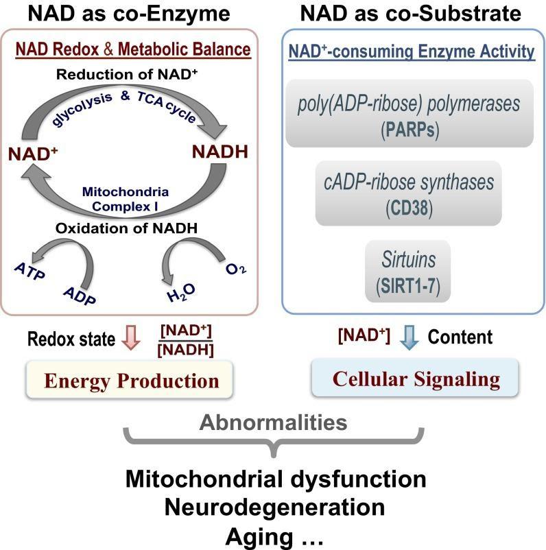 追踪NAD +水平:从大脑到血液